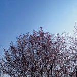 三滝山の山桜は5分咲き!